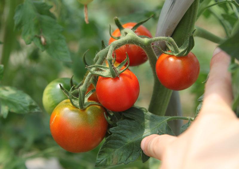 tomato800